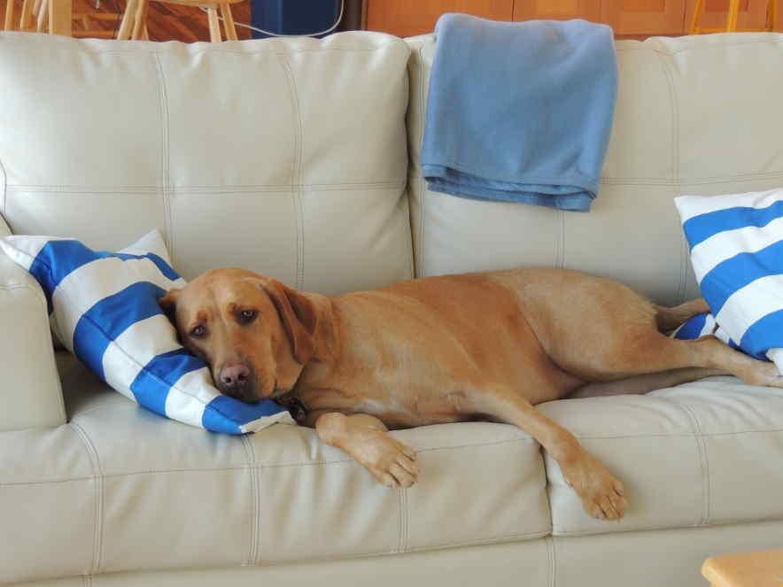 sad sleepy dog on sofa
