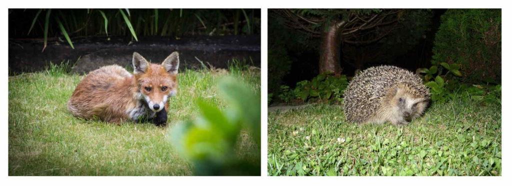 fox and hedgehog in garden in the evening